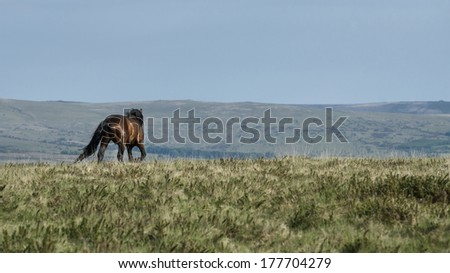 Lonely Dartmoor pony stallion