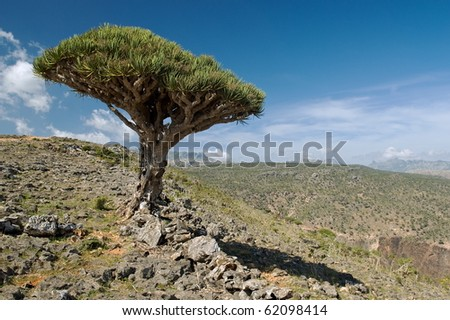 Lonely dragon blood tree on a hill slope