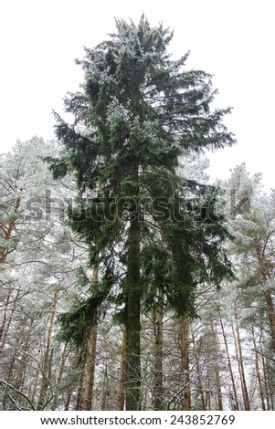 lonely fir-tree in the winter pine forest - stock photo