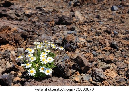 Lonely flower in arid climate of stone volcanic desert, El Teide, Tenerife. - stock photo