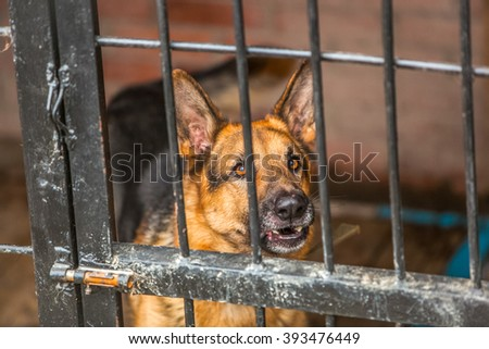 Lonely german shepherd - military dog at shelter
