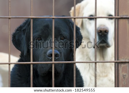 Lonely labrador retrievers behind the fence - stock photo