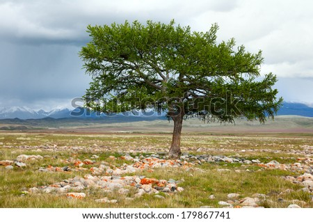 Lonely larch - is the shaman tree - stock photo