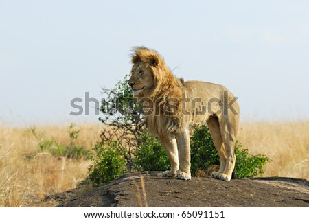 Lonely lion standing on the rock, Masai Mara, Kenya - stock photo