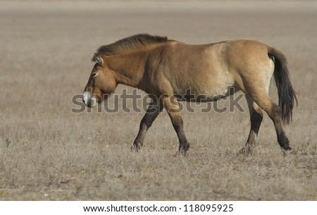 Lonely loschad Przewalski wandering through the autumn steppe.