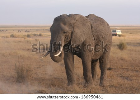 Lonely male elephant