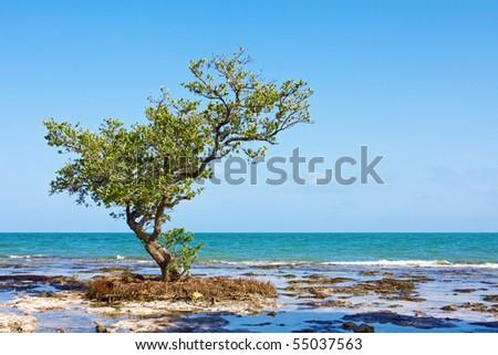 Lonely Mangrove tree - stock photo