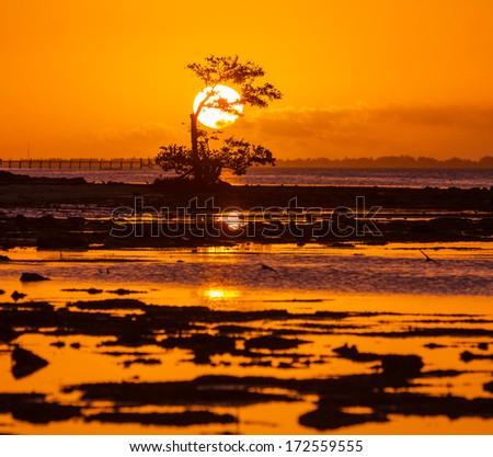 Lonely Mangrove tree in Florida coast - stock photo