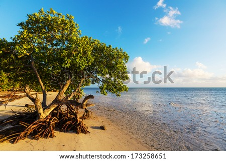 Lonely Mangrove tree in Florida coast - stock photo