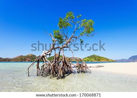 Lonely mangrove tree on the beauty beach - stock photo