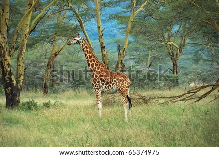 Lonely masai race giraffe in the Lake Nakuru national park