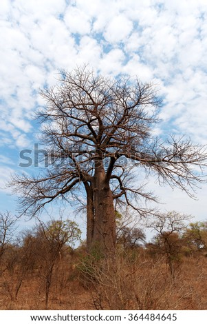 Lonely old baobab tree (Adansonia digitata)) - Namibia, South-West Africa against blue sky - stock photo