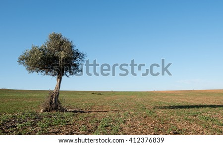 Lonely olive tree on a  wheat field and with blue clear sky