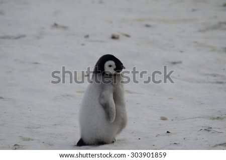 lonely penguin chick - stock photo