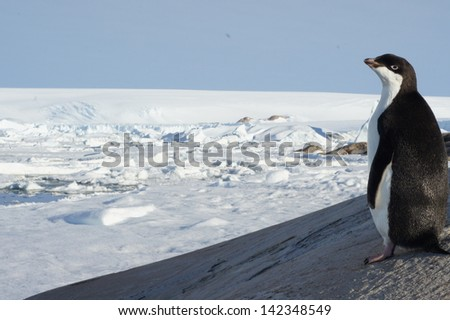Lonely penguin in the Antarctica - stock photo
