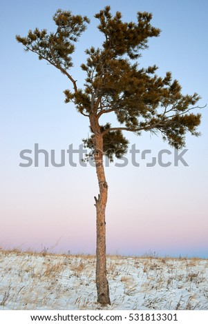 lonely pine tree at sunrise in winter