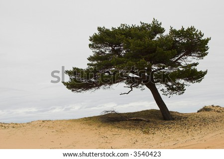 Lonely pine-tree in the sands