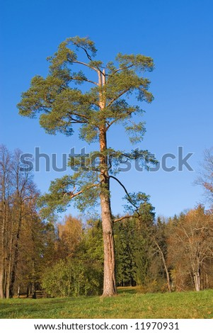 Lonely pine tree on sky background