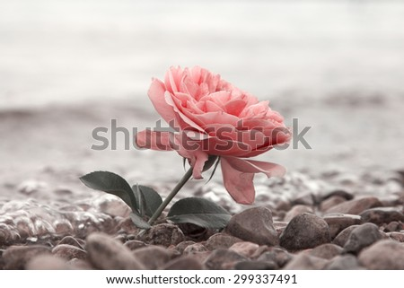 lonely rose flower at the stony beach, soft water background - stock photo