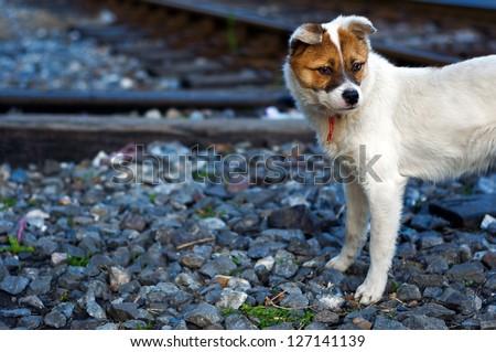 lonely sad homeless abandoned dog on tracks - stock photo
