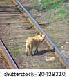 lonely sad homeless abandoned red dog on tracks - stock