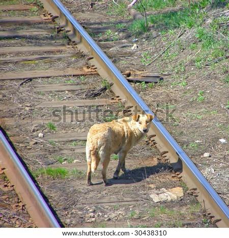 lonely sad homeless abandoned red dog on tracks - stock photo