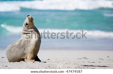 Lonely Seal at Seal Bay, Kangaroo Island - stock photo