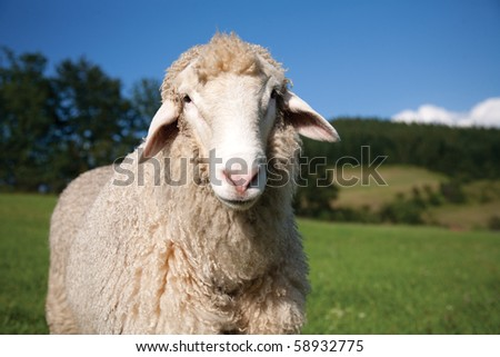 Lonely sheep - stock photo