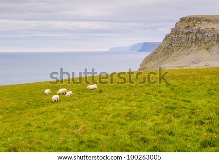 lonely sheep, grass west fjords iceland - stock photo