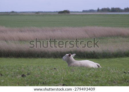 Lonely sheep lying in grass in the Netherlands - stock photo