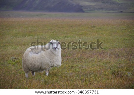 Lonely sheep on the meadow in strong wind and rain. Iceland
