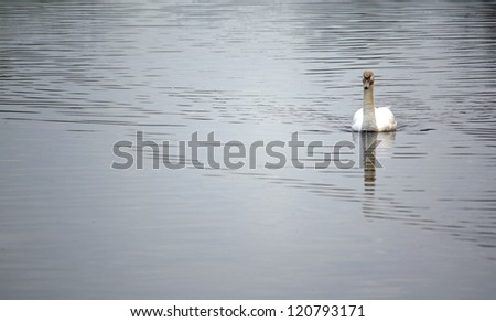 Lonely swan - stock photo