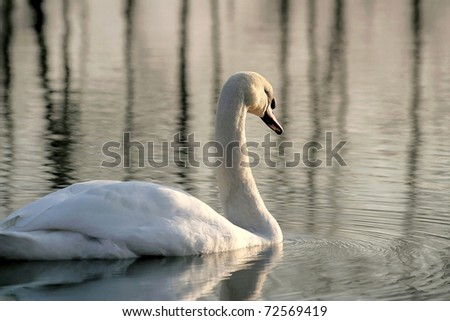 Lonely swan on the lake flows towards  the setting sun. - stock photo
