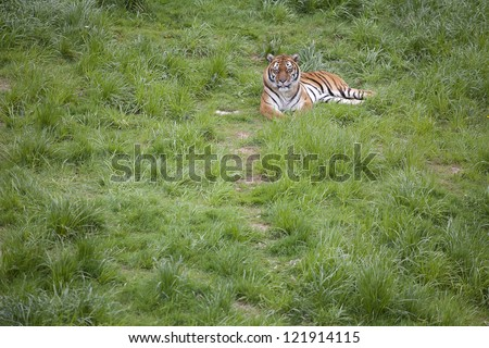 Lonely tiger lying on the grass - stock photo