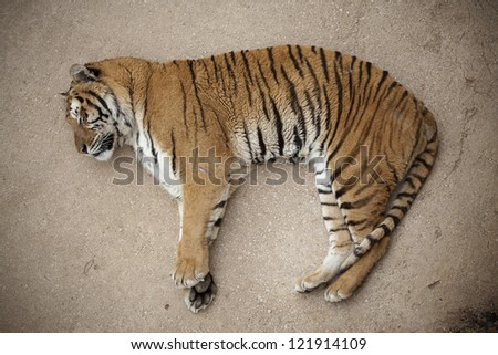 Lonely tiger sleeping on the floor - stock photo