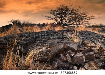 lonely tree and a dry grass in the field of lava at sunset. Big Island. Hawaii - stock photo
