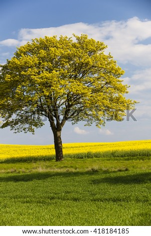 lonely tree in canola field - stock photo