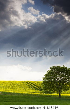 lonely tree in canola field