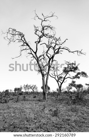 Lonely tree in Chobe National Park - Botswana, South-West Africa (black and white) - stock photo