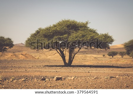 Lonely tree in desert Morocco