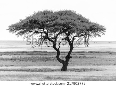 Lonely tree in Etosha National Park - Namibia, South-West Africa (black and white) - stock photo