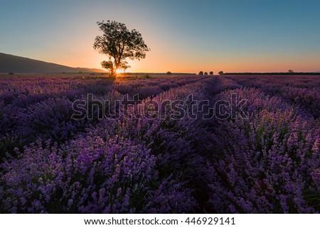 Lonely tree in lavender field at sunrise near Kazanlak town, Bulgaria - stock photo