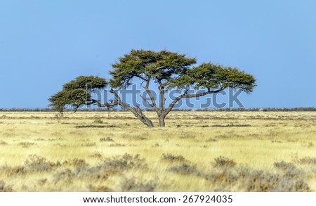 Lonely tree in Namib desert - Namibia, South-Western Africa - stock photo