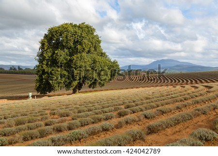 Lonely tree in the middle of lavender field in Tasmania - stock photo
