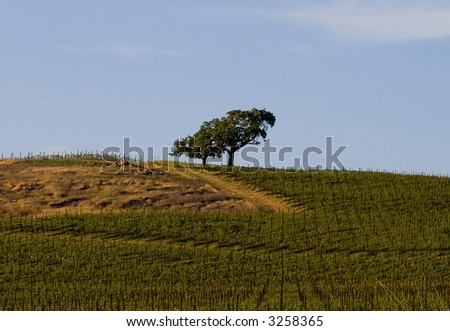 Lonely tree in the middle of Napa Valley vineyard - stock photo