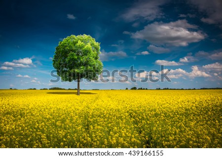 Lonely tree in the rapeseed field  - stock photo