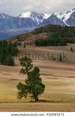 Lonely tree in the summer among the meadows and mountains behind. Russia, Siberia, Altai mountains, North Chui ridge - stock photo
