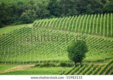 Lonely tree in the vineyards. Åtajerska, Slovenia - stock photo
