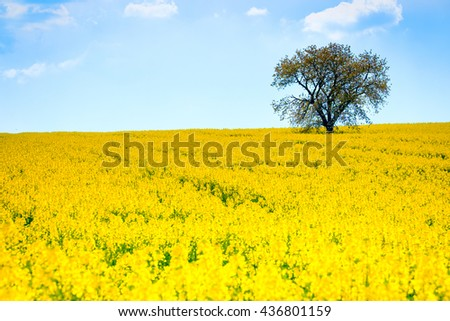 Lonely tree on the blooming colza field, blue cloudy sky above