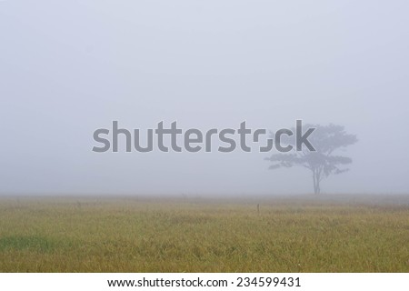 Lonely tree on the cornfield with morning mist  - stock photo